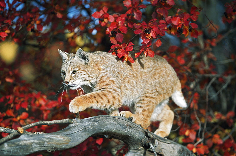 Bobcat Walks On Branch Through Hawthorn In Autumn, Idaho, Usa - 1116-40980