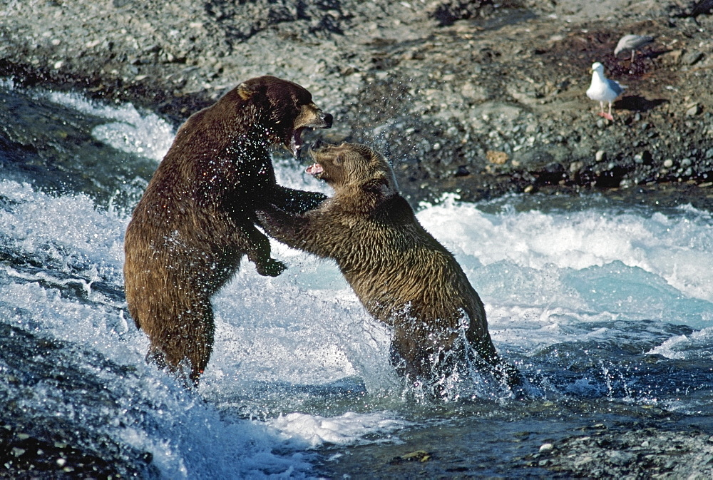 Grizzly Bears Fight Over Fishing Spot In Rapids
