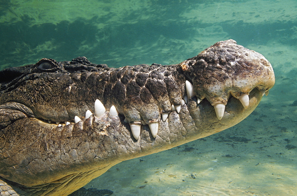 Close-Up Of Saltwater Crocodile Underwater