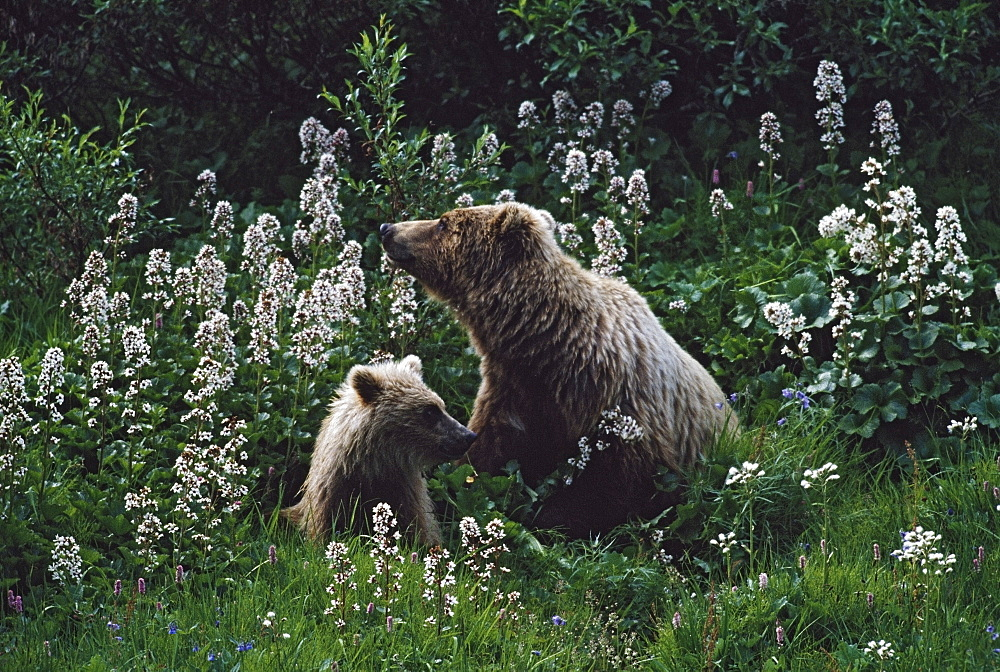 Grizzly Bear (Ursus Arctos) With Cub In Patch Of Wildflowers, Denali National Park And Preserve, Alaska, Usa