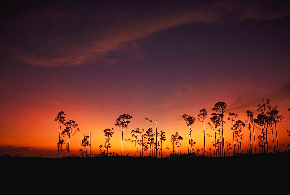 Slash Pine (Pinus Elliottii), Everglades National Park, Florida, Usa