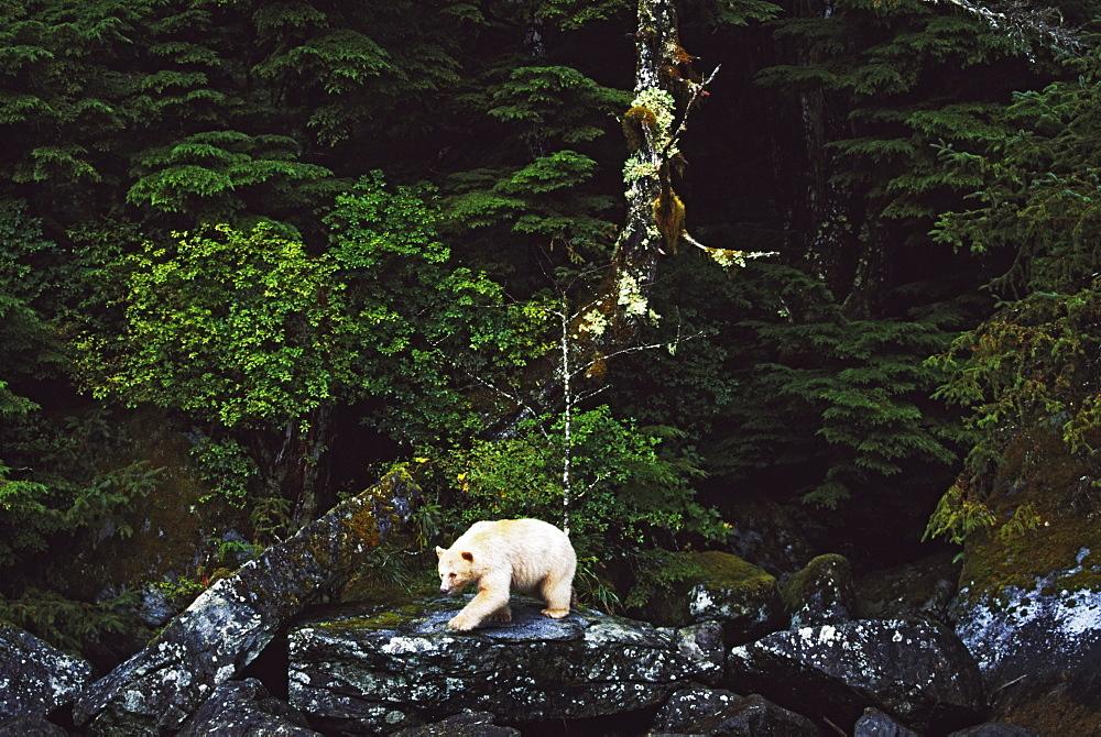Spirit Bear In Rainforest, Princess Royal Island, British Columbia, Canada