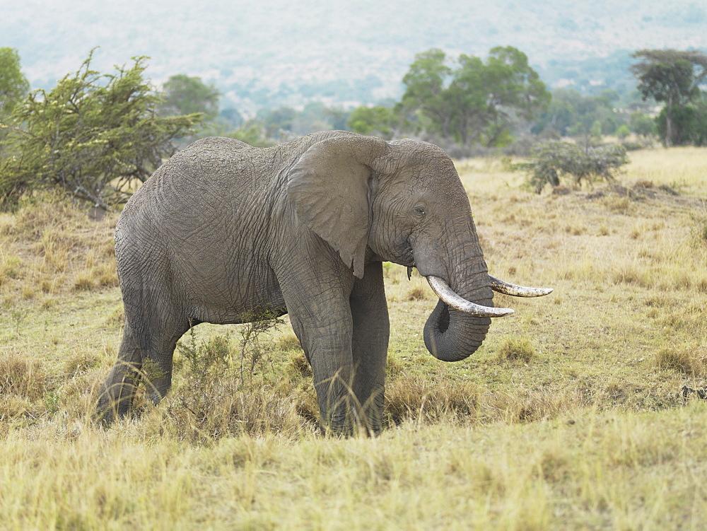 Elephant With Tusks