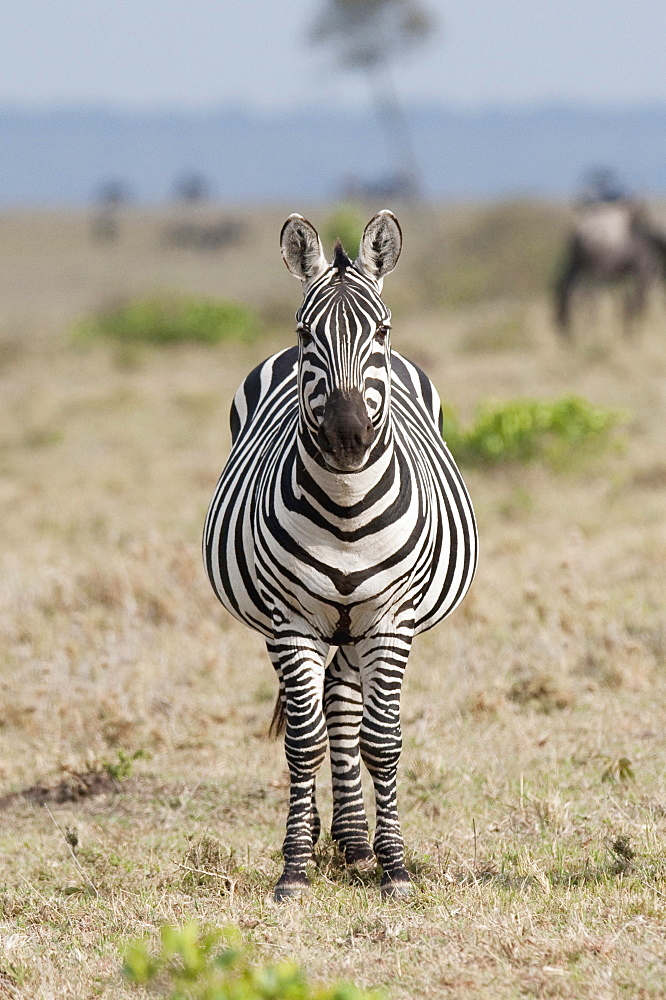 Zebra - 1116-41032