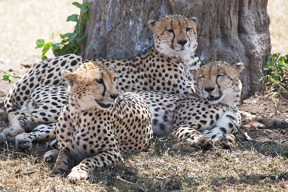 Leopards, Kenya, Africa