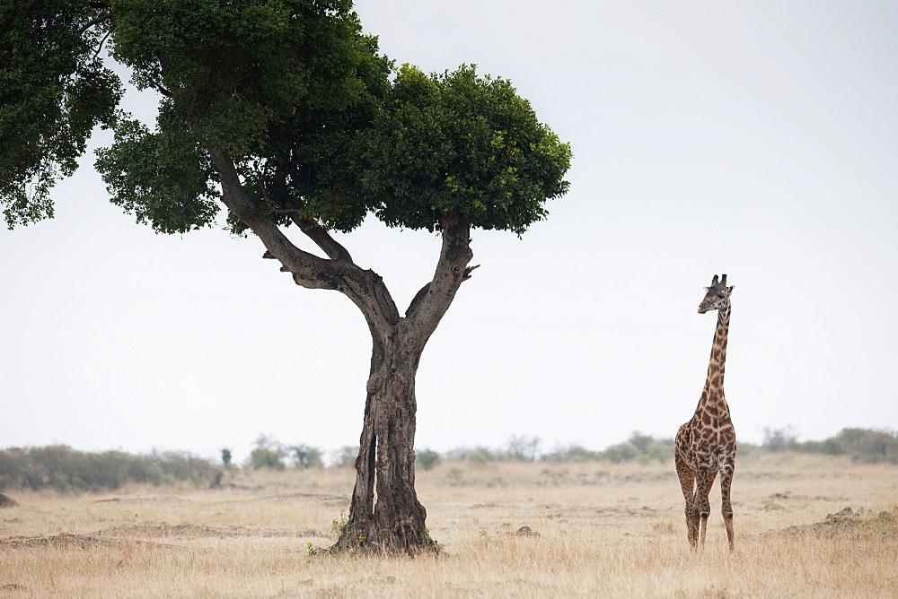 Giraffe, Kenya, Africa