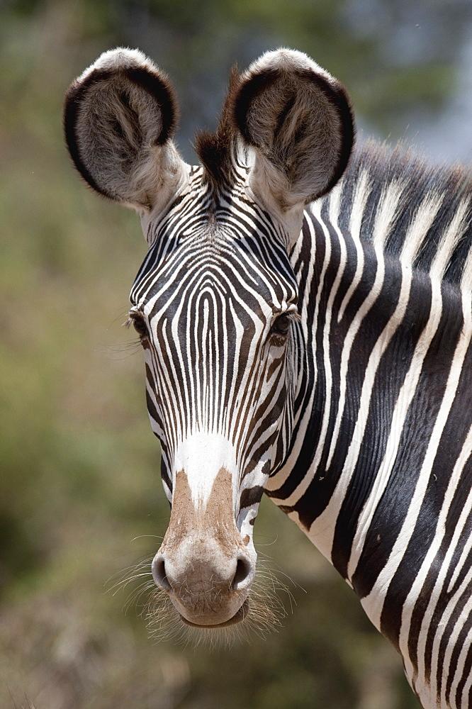 Zebra, Kenya, Africa