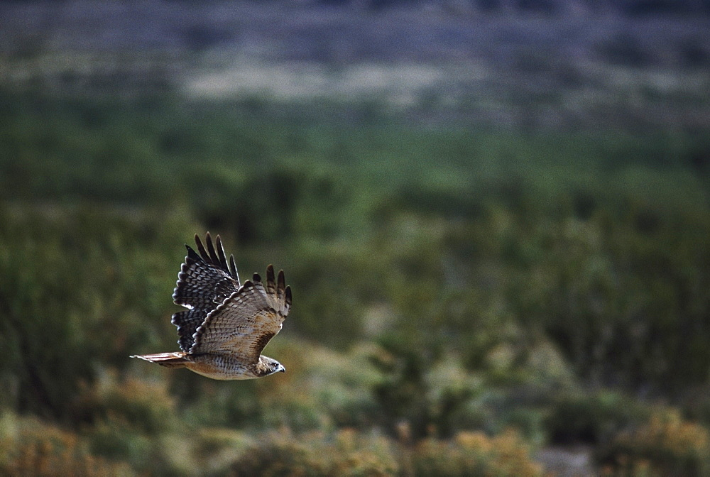 Red-Tailed Hawk (Buteo Jamaicensis) Flies Over High Desert