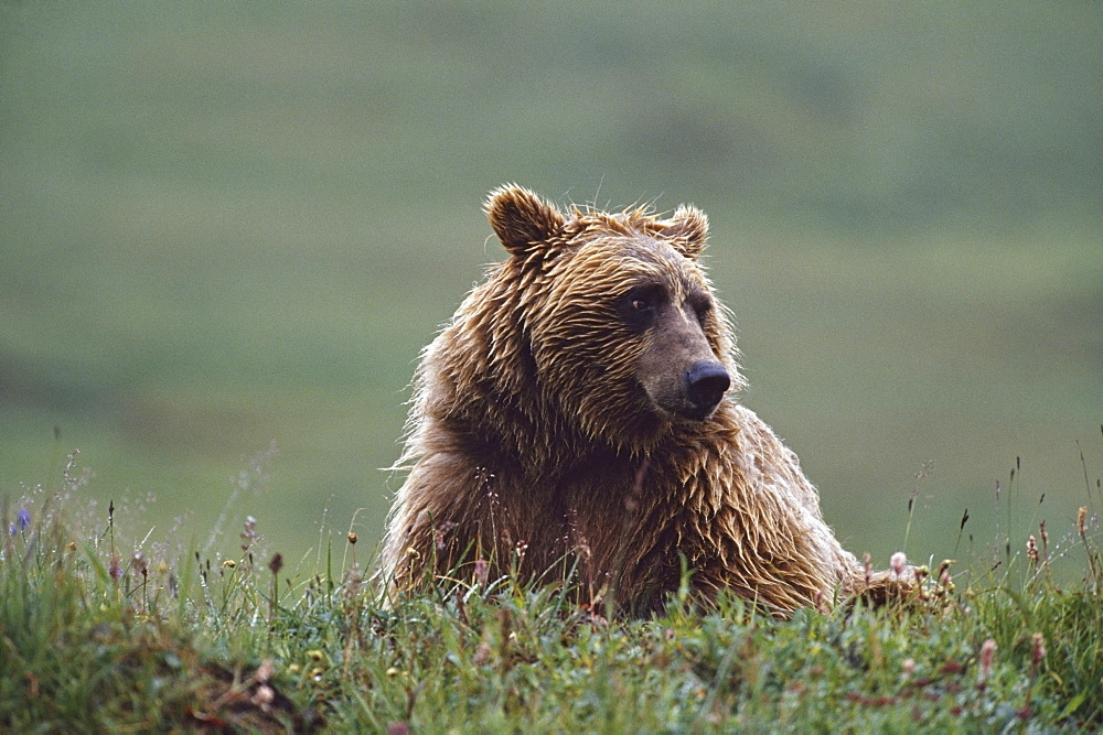 Grizzly Bear With Wet Fur, Alaska, Usa