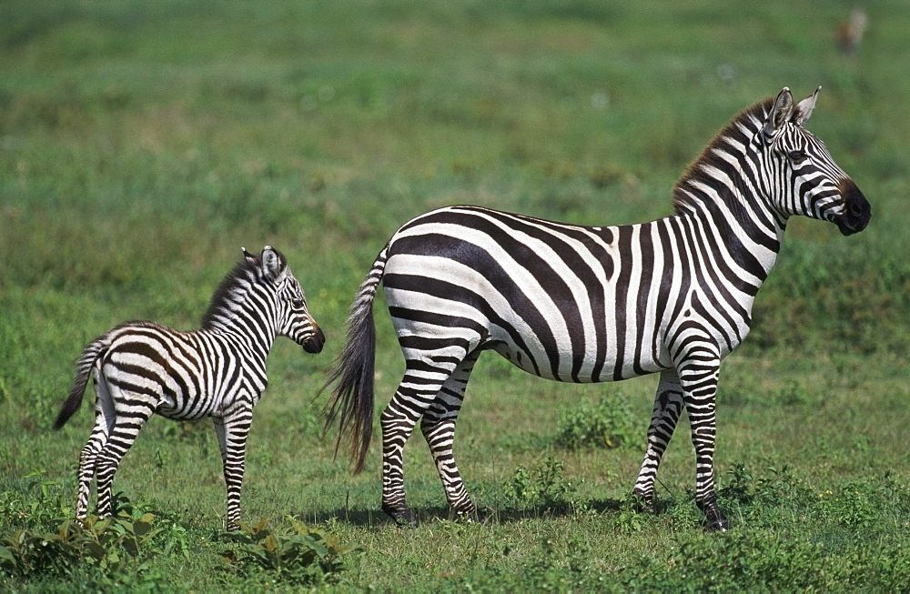 Plains Zebra Mare With Foal, Africa
