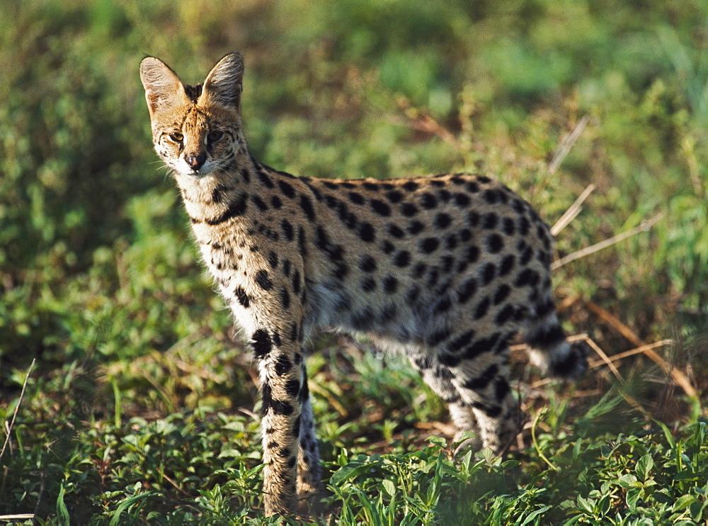 Alert Serval, Africa