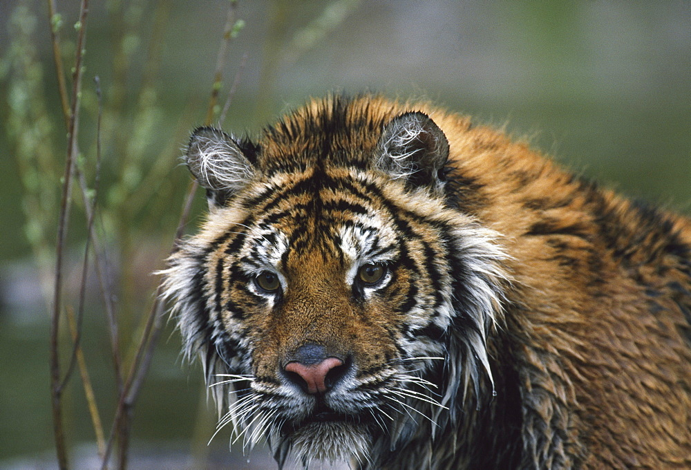 Portrait Of Wet Siberian Tiger, Native Toamur-Ussuri Region Of Russia