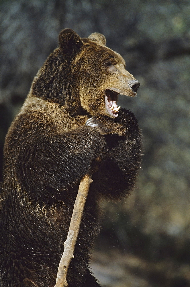 Grizzly Bear Standing Upright While Holding A Large Stick, Captive, Native To North America