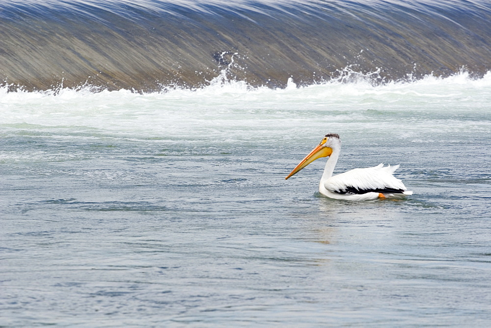 Calgary, Alberta, Canada, American White Pelican (P. Erythrorhynchos) In The Bow River