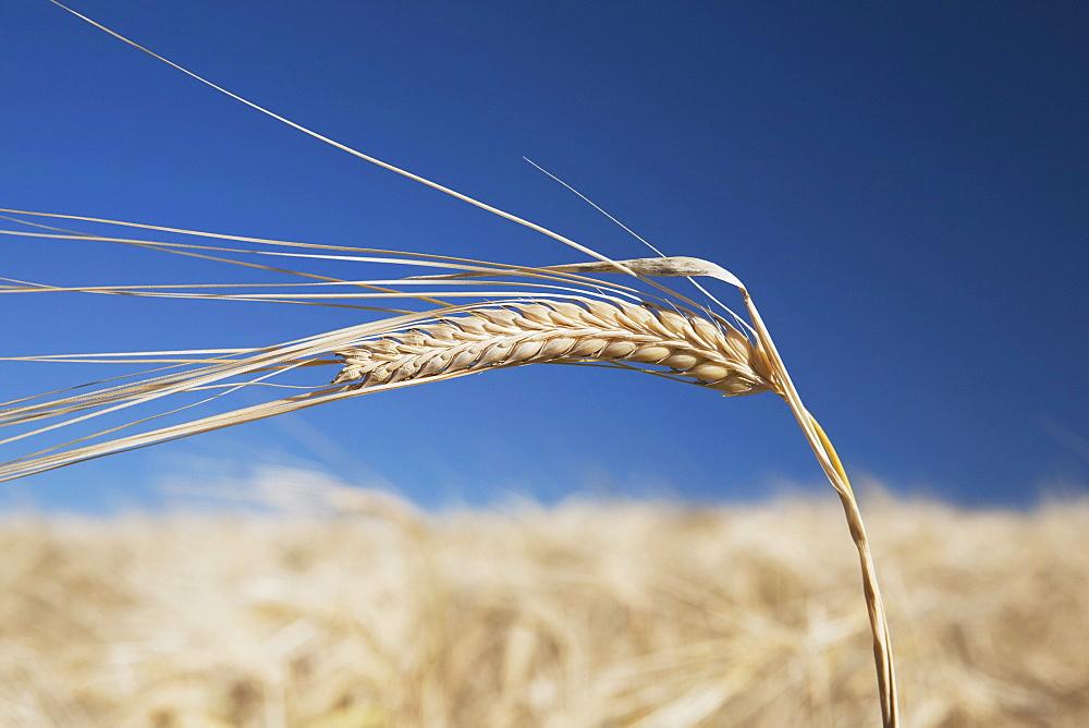 Alberta, Canada, Ripe Barley