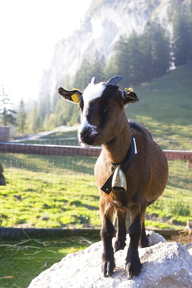 Goat Kid, Bad Goisern, Salzkammergut, Austria