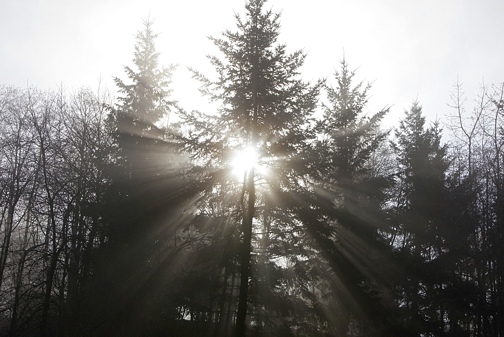 Oregon, United States Of America, Sun Shining Through A Tree