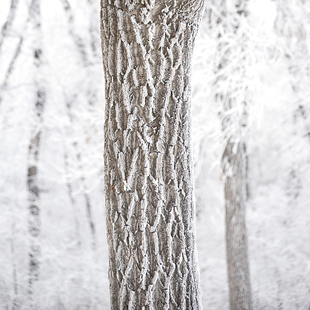 Winnipeg, Manitoba, Canada, A Tree Trunk And It's Branches Covered With Snow