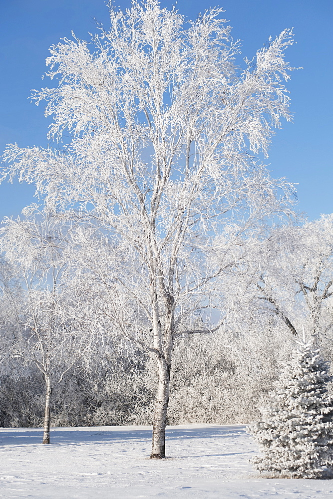 Winnipeg, Manitoba, Canada, Trees Covered In Snow