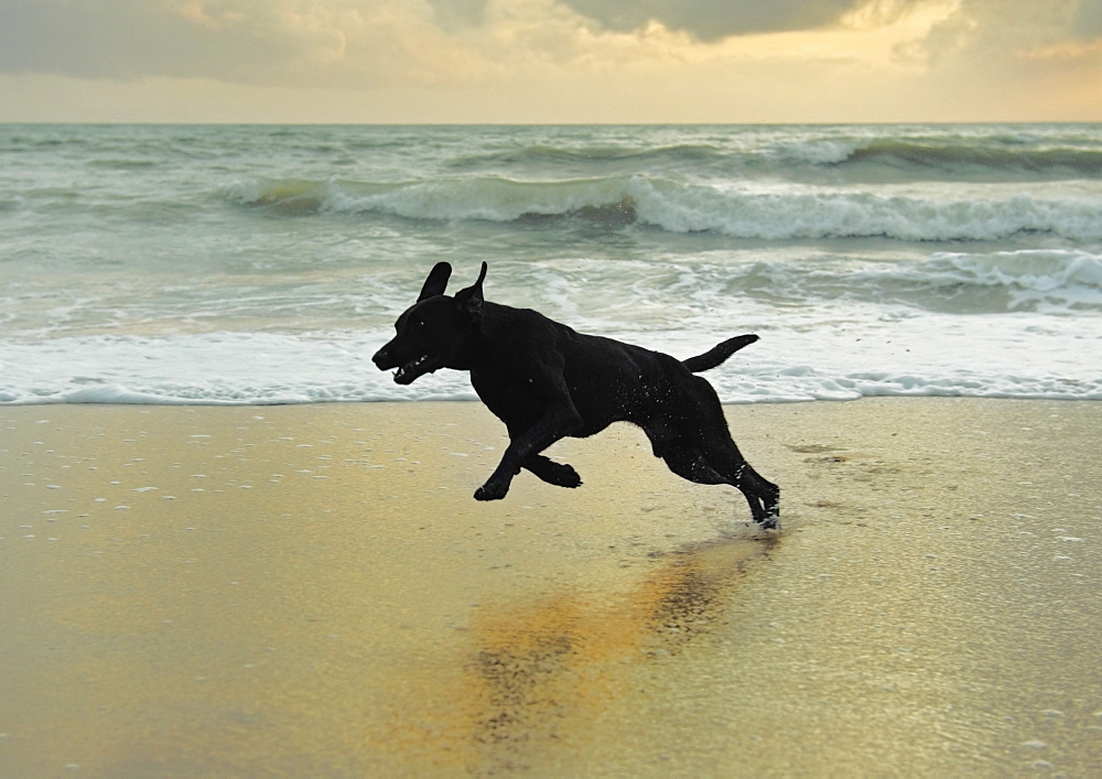 A Dog Running On The Beach, Tarifa, Cadiz, Andalusia, Spain