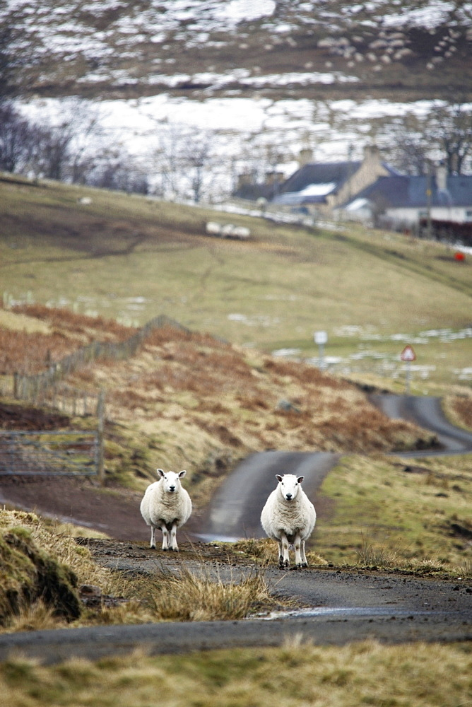 Scottish Borders, Scotland, Two Sheep On The Road