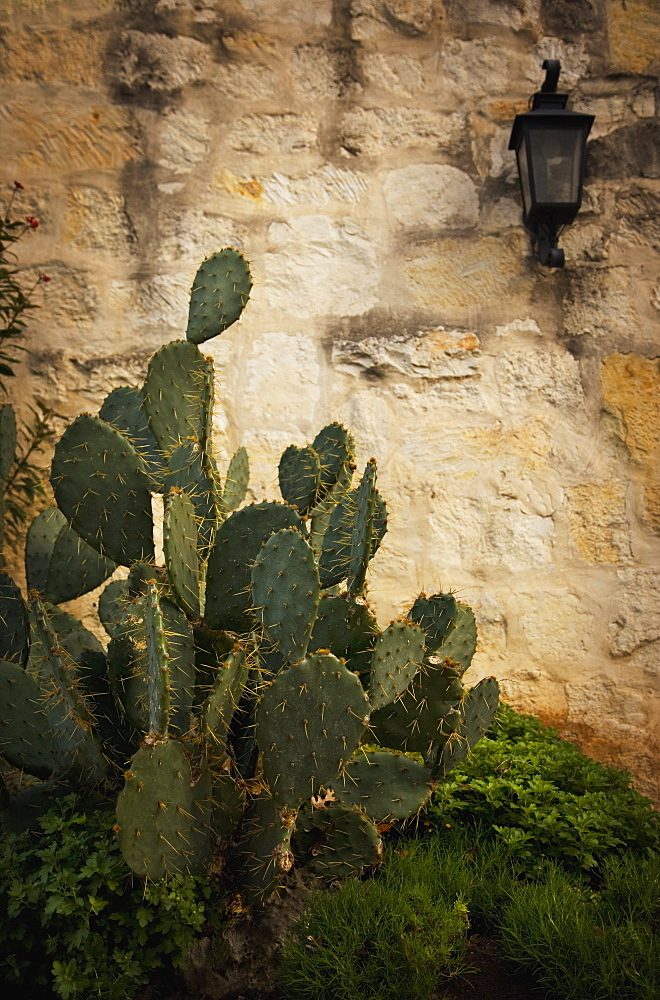 San Antonio, Texas, United States Of America, A Cactus In Front Of The Alamo