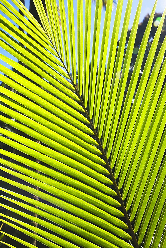 Hawaii, United States Of America, Pattern Formed By Frond Of Young Coconut Tree (Cocos Nucifera)