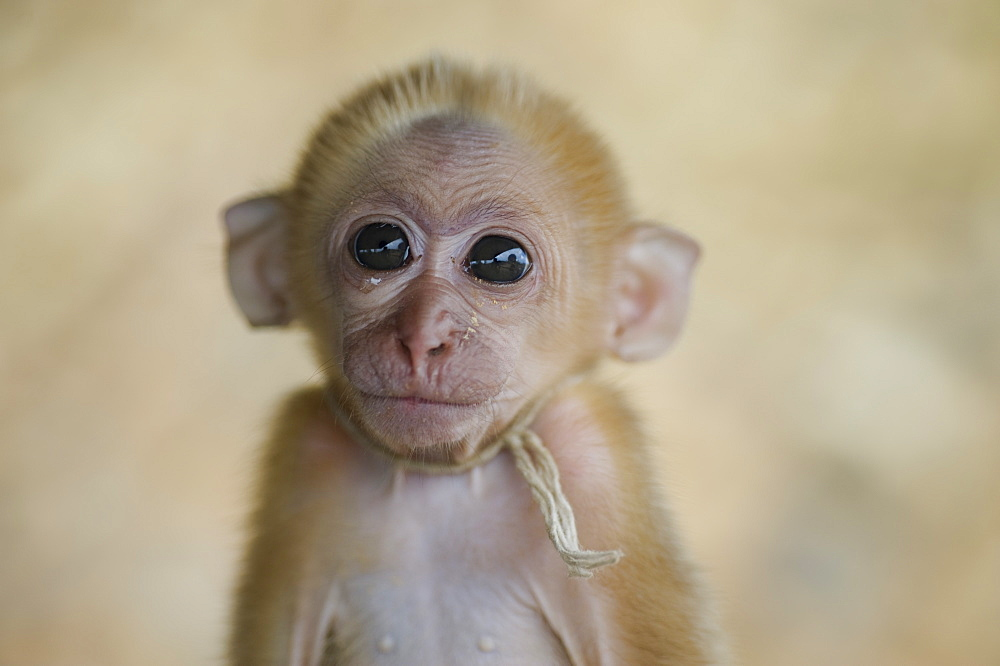 A Small Monkey, Mae Hong Sorn, Thailand