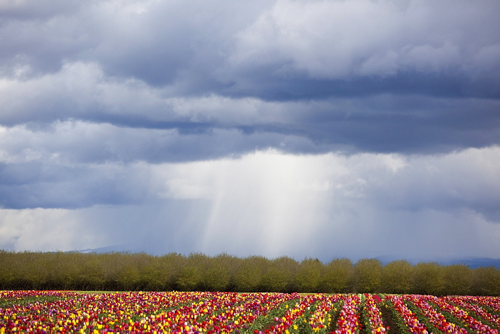 Woodburn, Oregon, United States Of America, Tulip Field Under Storm Clouds