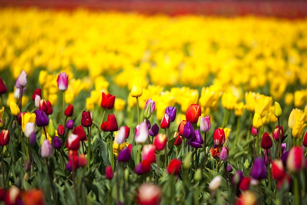 Woodburn, Oregon, United States Of America, Tulip Field