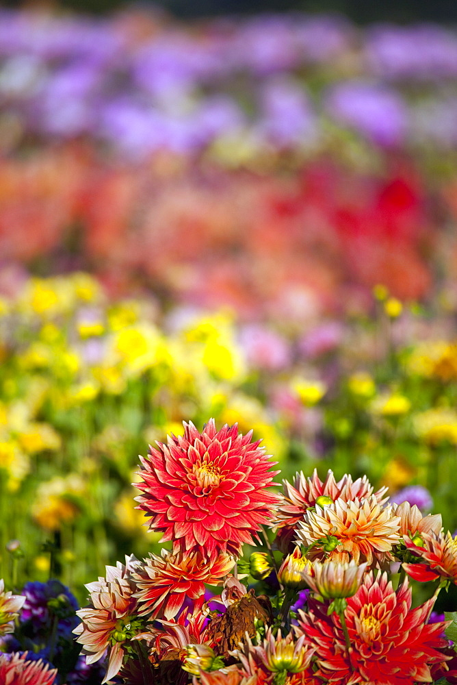 Willamette Valley, Oregon, United States Of America, A Variety Of Dahlias In A Field