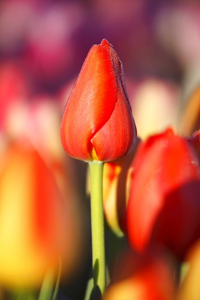 Woodburn, Oregon, United States Of America, Close Up Of A Closed Tulip