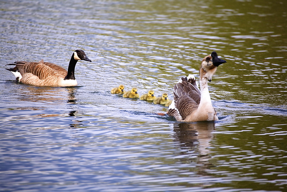 Two Geese Swimming With Their Goslings Following