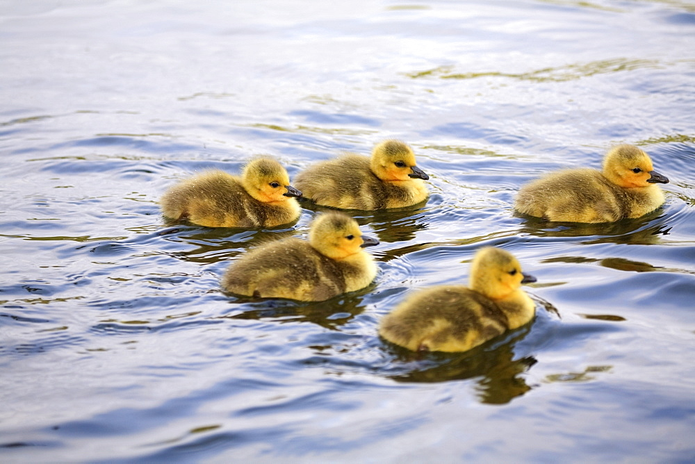 Five Goslings In The Water - 1116-41317