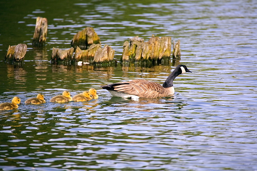 Five Goslings Following The Mother Goose