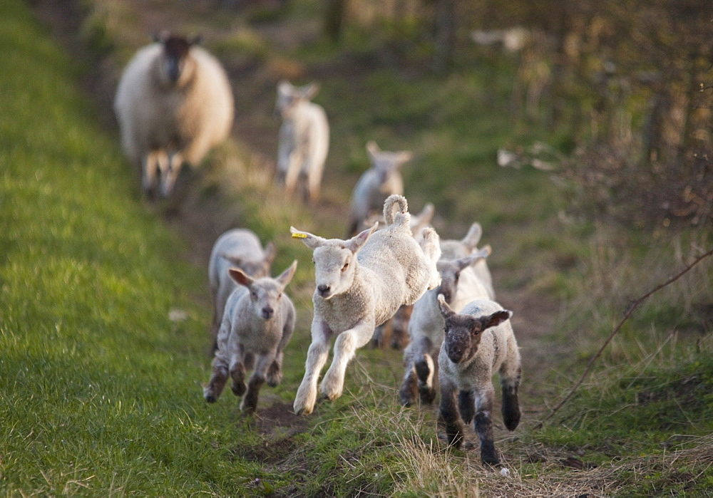 Northumberland, England, A Group Of Lambs Running Together With A Sheep Running Behind