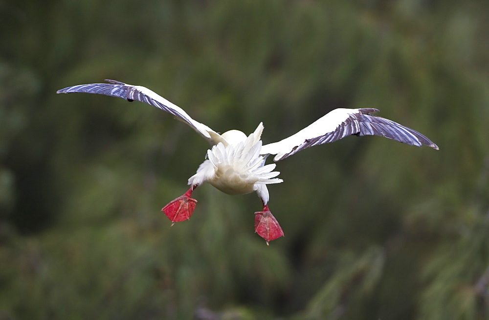 Hawaii, United States Of America, Red-Footed Booby (Sula Sula) Pitches Forward In Flight With Tail Feathers And Feet Flared For Braking
