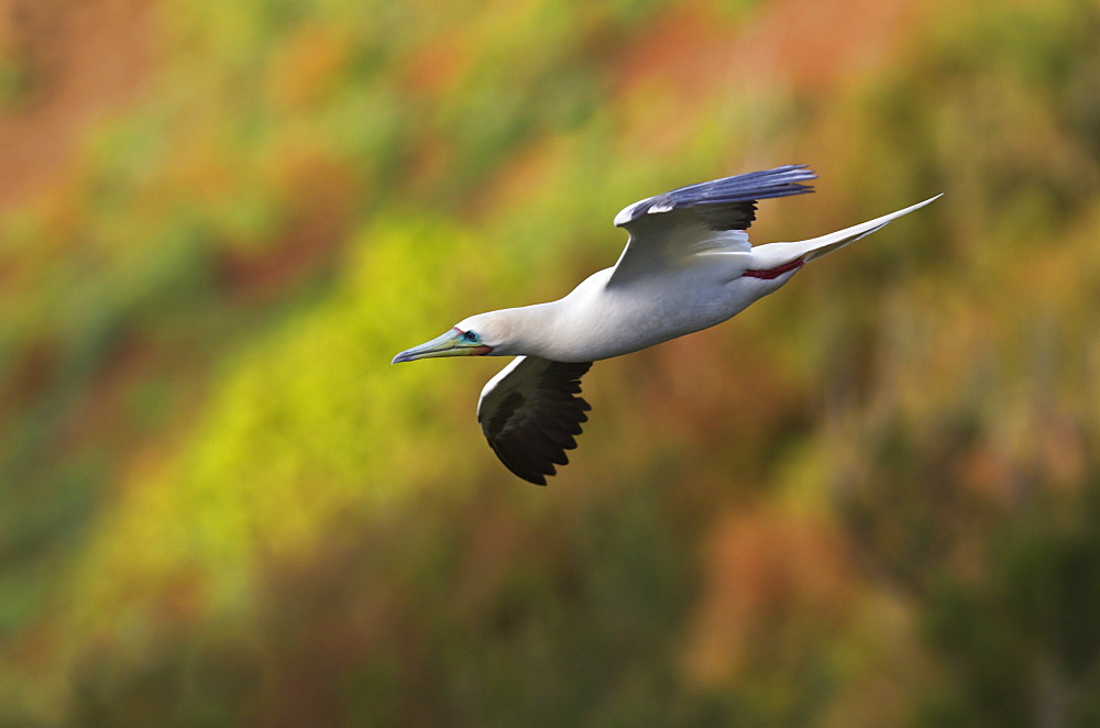 Hawaii, United States Of America, Red-Footed Booby (Sula Sula) In Flight