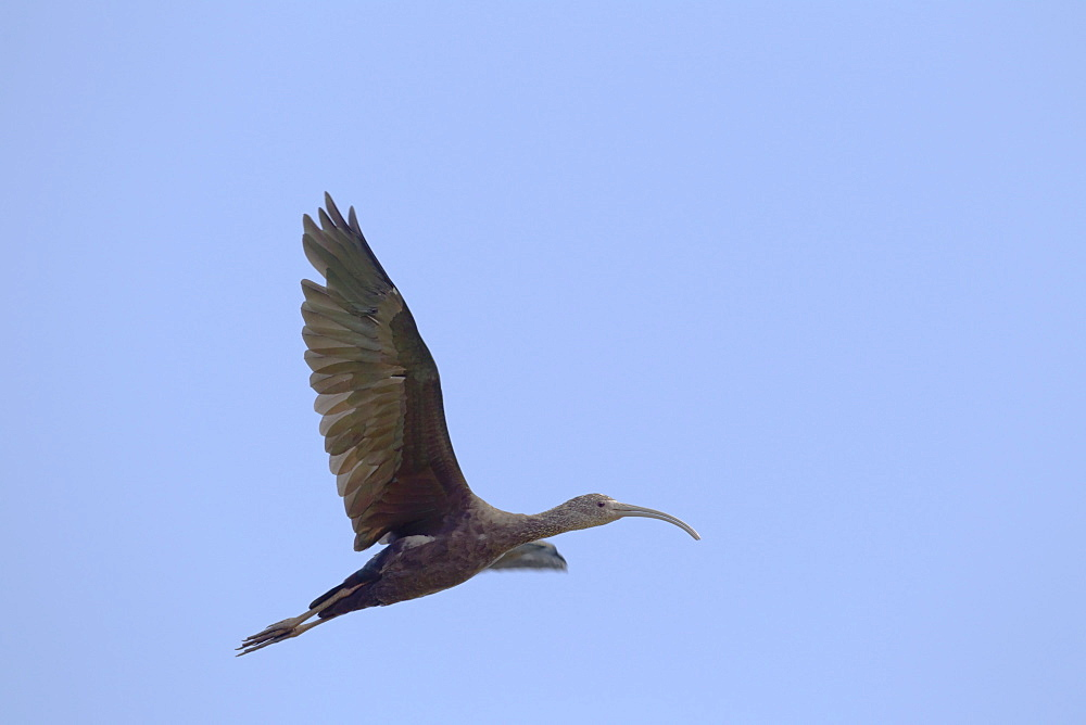 Hawaii, United States Of America, White-Faced Ibis (Plegadis Chihi) In Flight