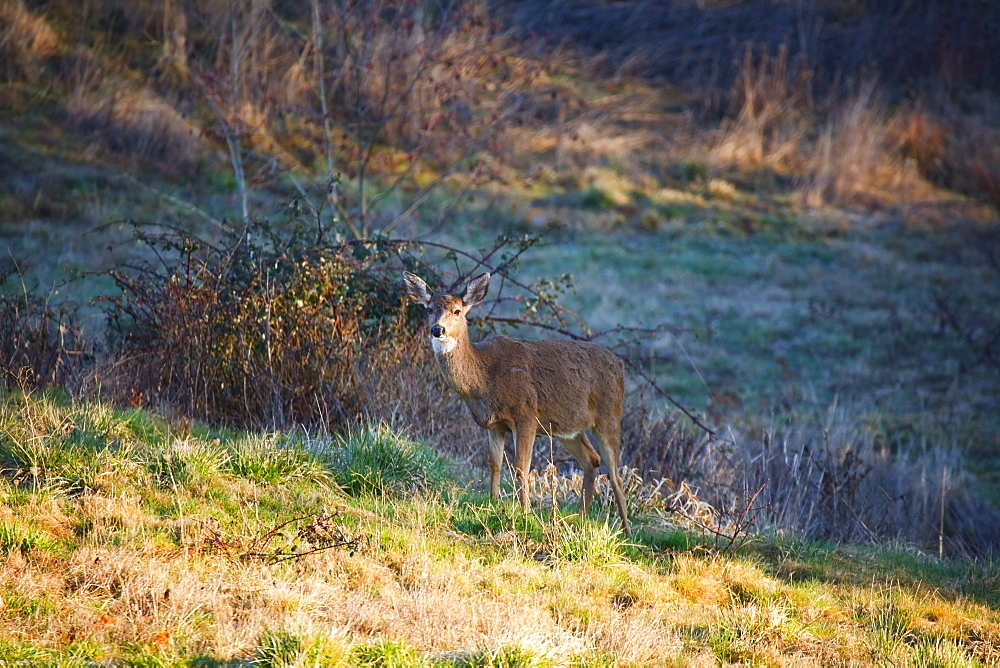 Happy Valley, Oregon, United States Of America, A Deer In Morning Light