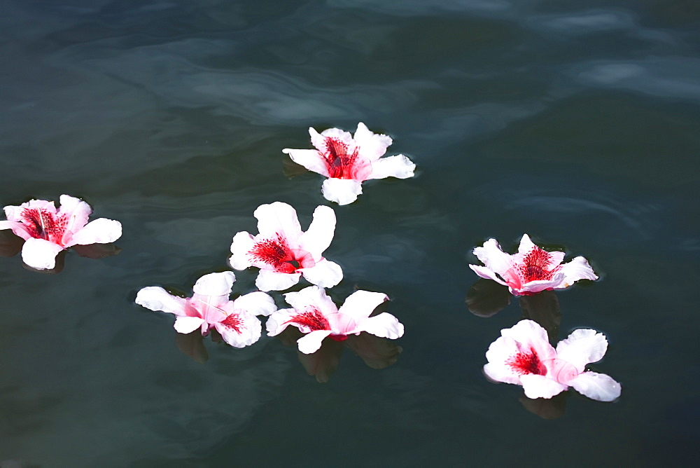 Portland, Oregon, United States Of America, Rhododendron Flowers Floating In Water At Crystal Springs Rhododendron Garden