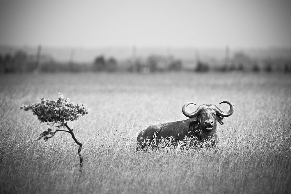 A Wildebeest In A Field, Kenya