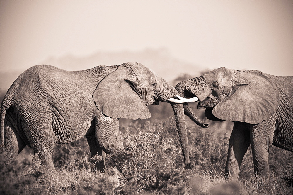 Two Elephants With Their Trunks Touching, Samburu, Kenya
