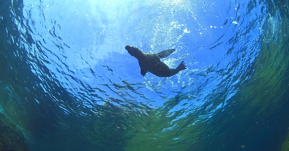 A Sea Lion In The Water At Los Islotes National Marine Park On Espiritu Santos Island Near La Paz, Baja, California, Mexico