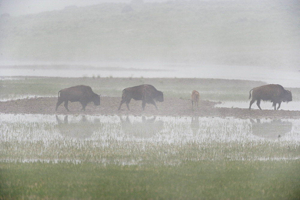 Bison In Fog In Marshy Area Of Hayden Valley, Yellowstone National Park, Wyoming, United States Of America