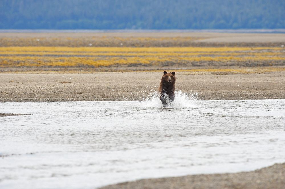 Grizzly Bear (Ursus Arctos Horribilis) Running Through A Stream, Tenakee Springs, Alaska, United States Of America