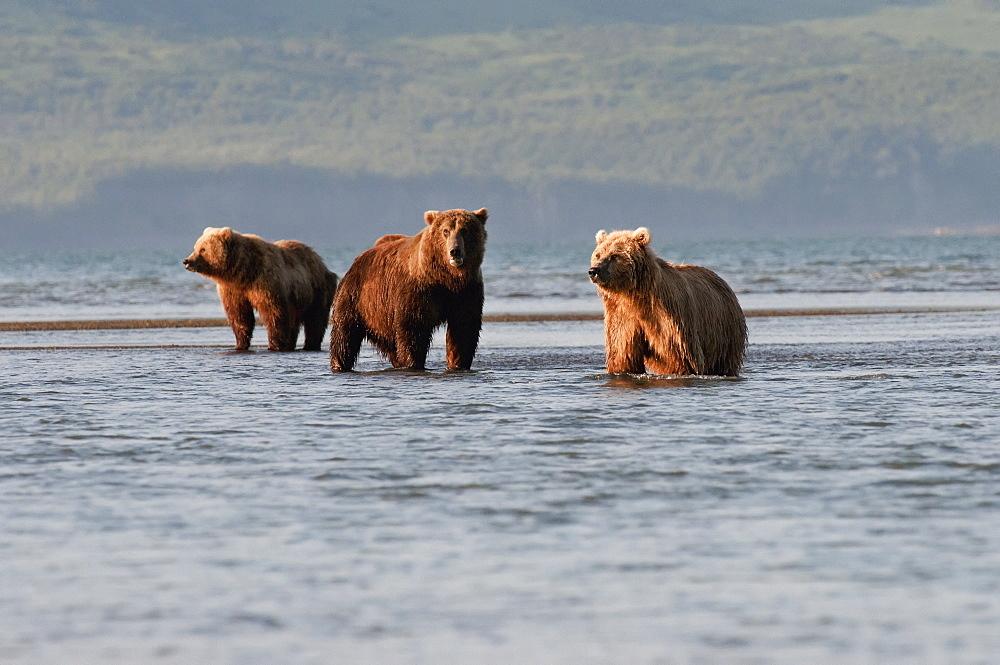 Three Grizzly Bears (Ursus Arctos Horribilis) Fishing, Alaska, United States Of America