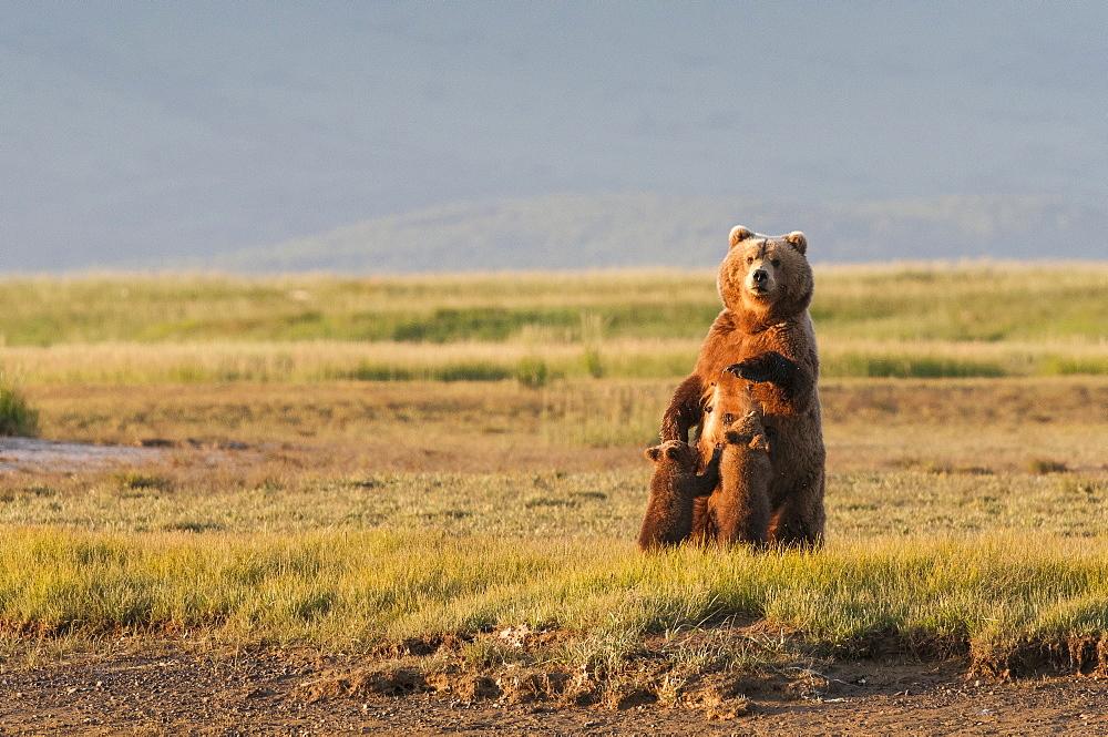 A Grizzly Bear (Ursus Arctos Horribilis) Nursing Her Two Cubs, Alaska, United States Of America