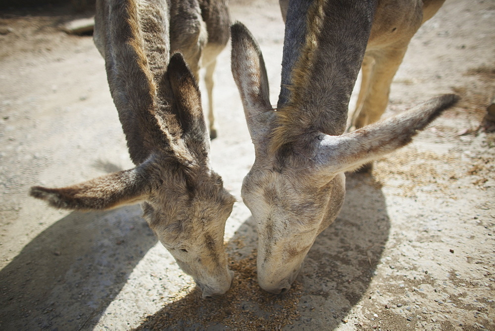 Donkeys Eating Grain, Tarifa, Cadiz, Andalusia, Spain