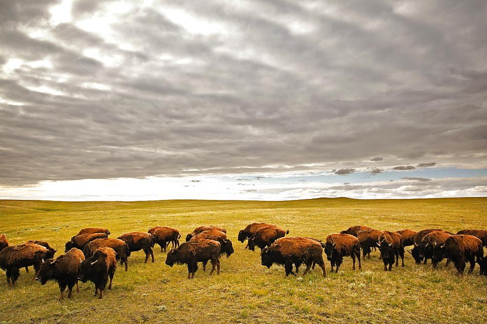 Bison Grazing, Saskatchewan, Canada